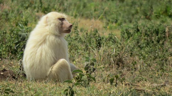 White baboon in Arusha, Tanzania