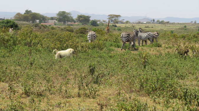 White baboon among zebra and giraffe