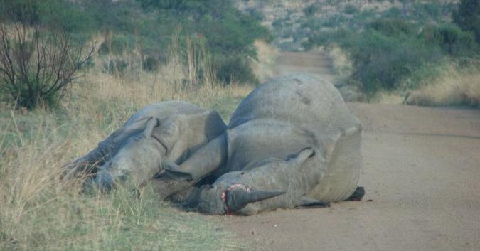 Two dead rhinos killed by poachers
