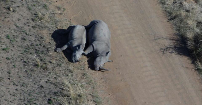 Aerial view of two dead rhinos after poachers killed them