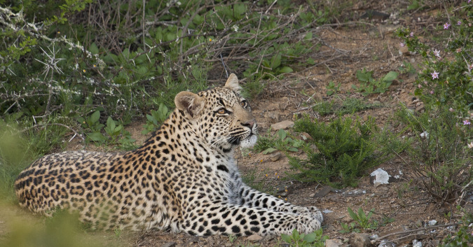 Young leopard in the bush