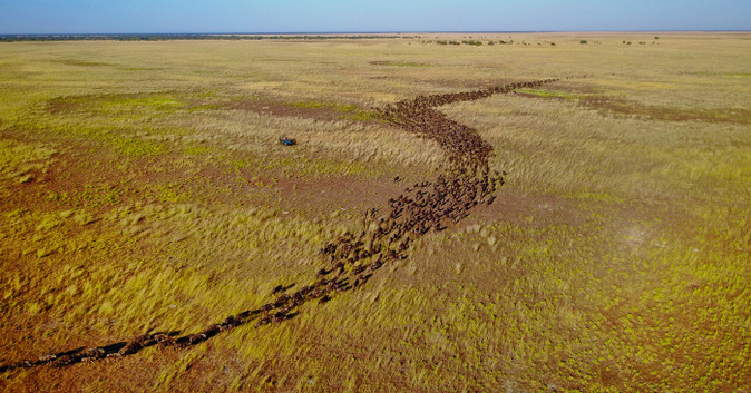Aerial view of a wildebeest migration