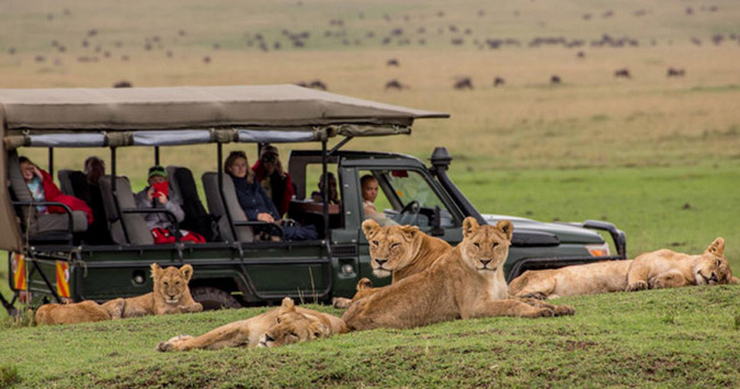 A pride of lions with a game drive vehicle in the background