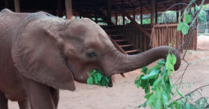 41 - Filling up on browse-© The Elephant Orphanage (Game Rangers International)