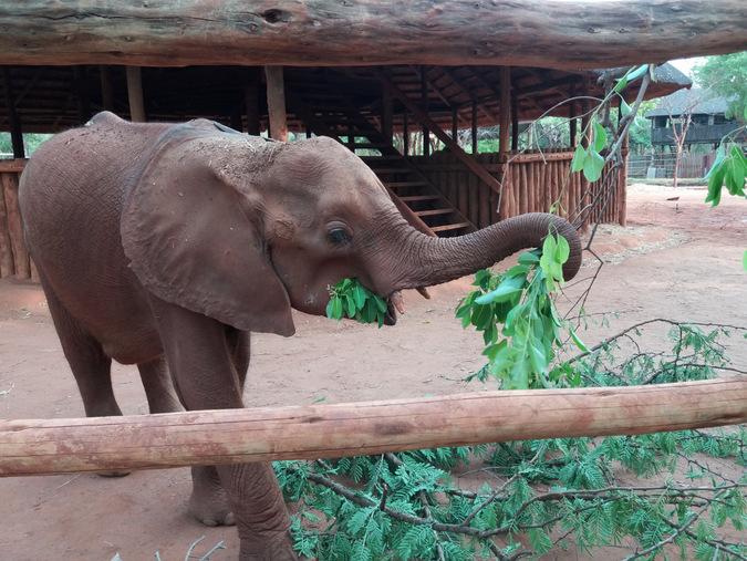 Elephant calf feeding on browse at an orphanage facility