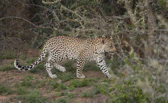 Young leopard walking through the bush