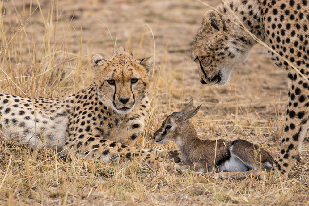 Two cheetahs and a Thomson's gazelle fawn