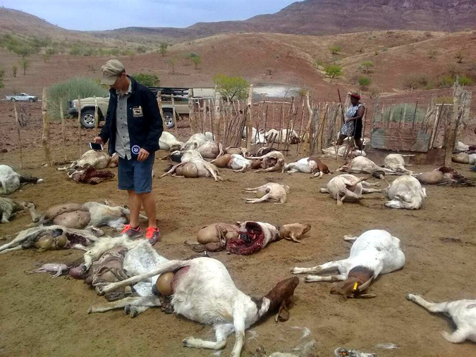 Dead goats killed by lions in Namibia