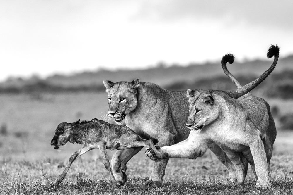 Lions catching a wildebeest calf