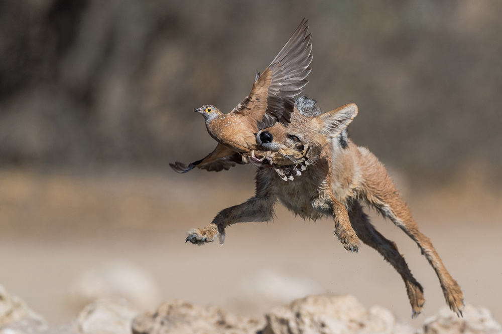 Jackal jumping in the air to catch a bird