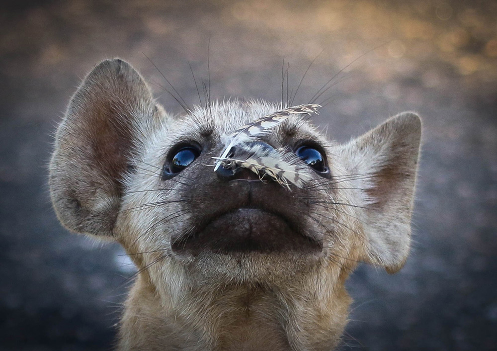 Baby hyena with feathers on its nose