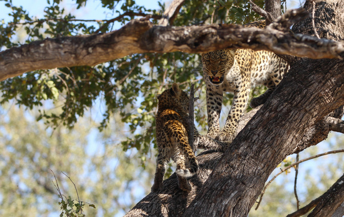 Leopard mother and cub on a tree