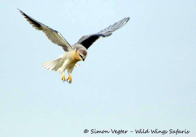 Black-shouldered kite, bird, Kruger National Park, South Africa