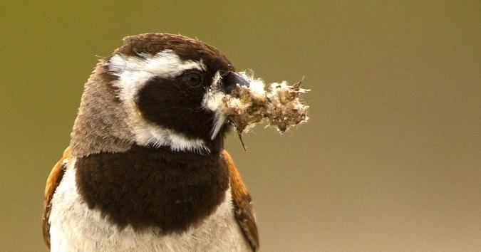 Cape sparrow, bird