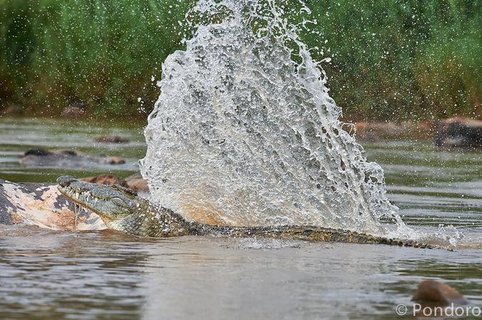 Crocodiles splashing in river