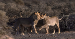 desert-adapted lions © Ingrid Mandt