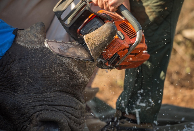 Up-close of chainsaw and rhino horn