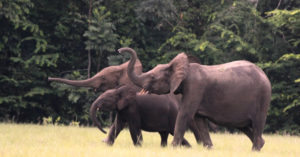 Forest Elephants © Christian Boix