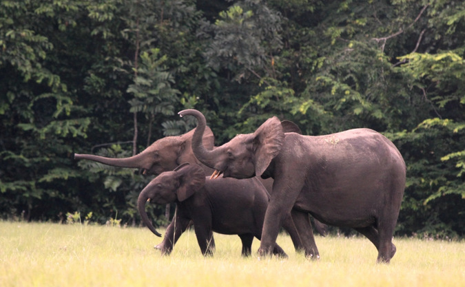 Three forest elephants