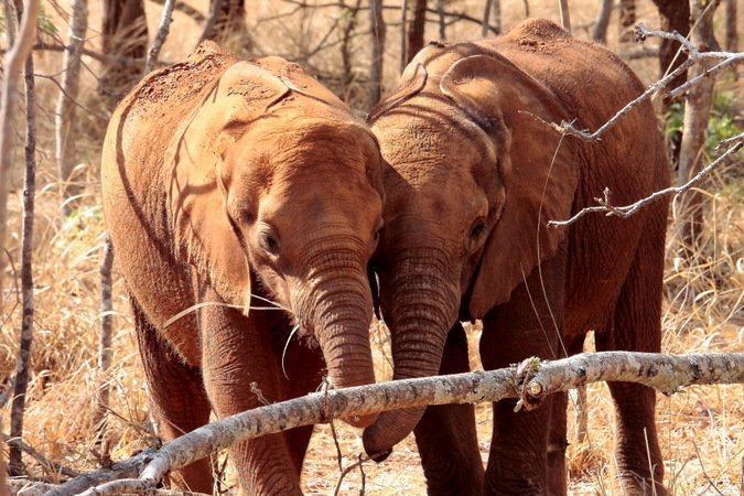 Two elephant orphan calves
