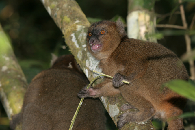 Bamboo lemur at night