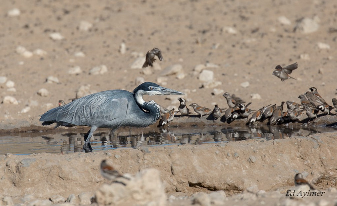 Heron in a waterhole surrounded by sparrows drinking water