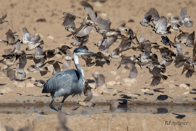 Heron in a waterhole surrounded by sparrows