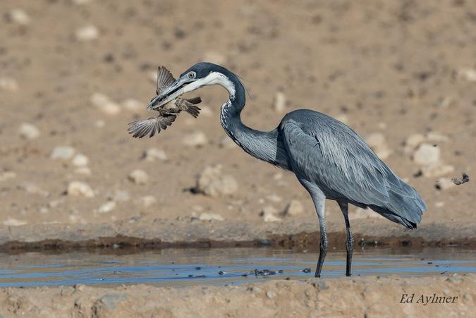 Heron capturing a sparrow
