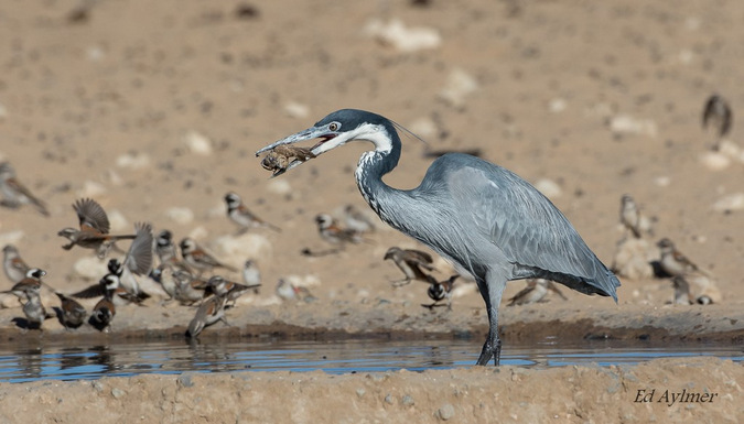 Heron swallowing a sparrow