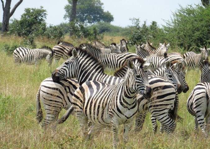 Herd of zebras in Botswana