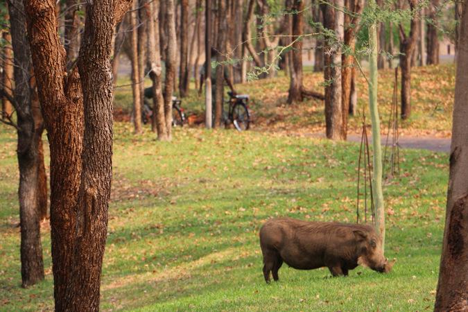 Warthog grazing on grass