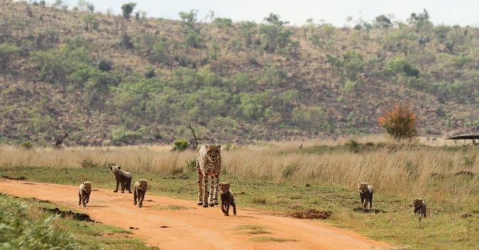 Cheetah with six cubs walking along dirt road