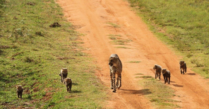 Cheetah mother walking with her six cubs
