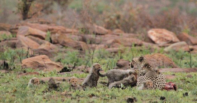 Cheetah and cubs with impala kill