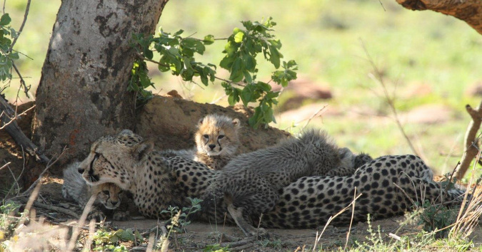 Cheetah mother lying down with cubs