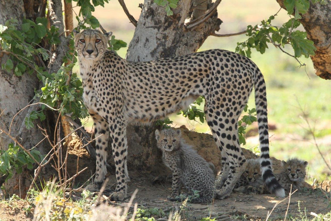 Cheetah mother with three cubs in the shade of a tree