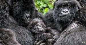 Mountain gorilla family © Stuart Sinclair