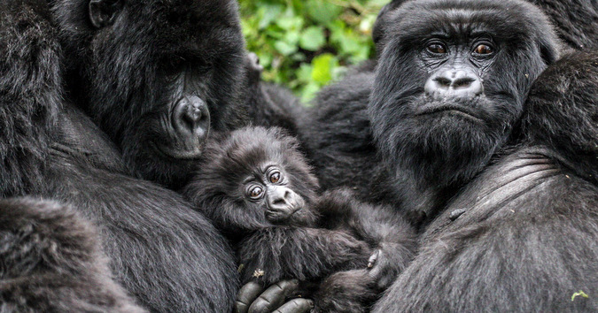 Mountain gorilla family © Stuart Sinclair