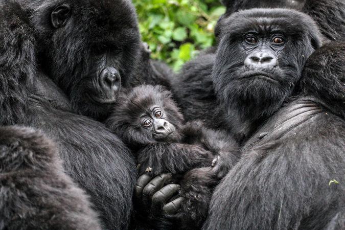 Mountain gorilla family in Volcanoes National Park