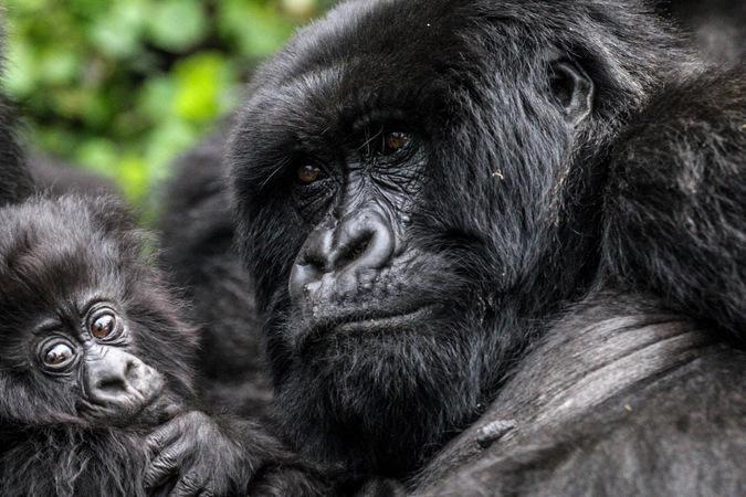 Two mountain gorillas in Volcanoes National Park, Rwanda