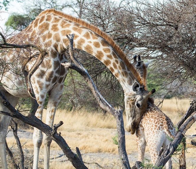 Giraffe and it's baby in Botswana