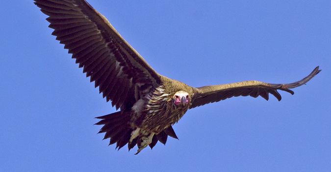 Lappet-faced vulture, bird