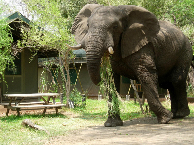 Wild elephant walking through lodge grounds in Zambia