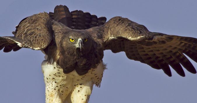Martial eagle, bird