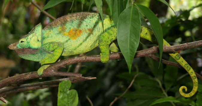 Large chameleon in a forest