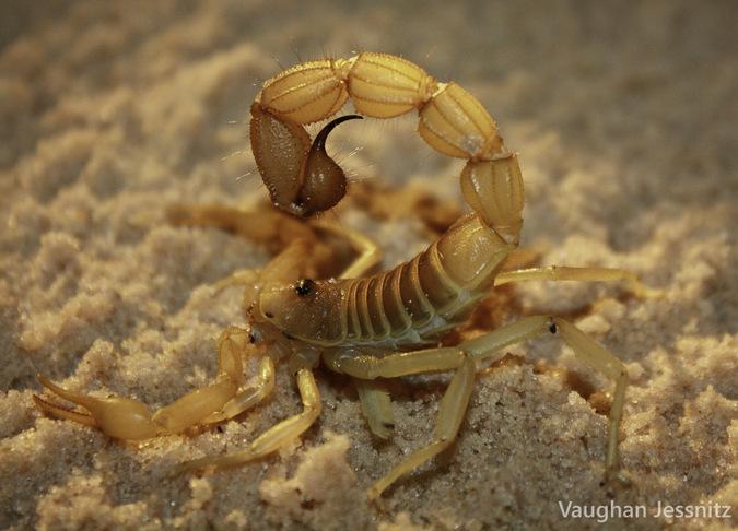 Big stinger scorpion