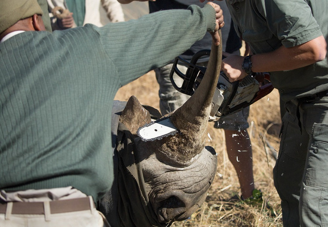 Removing a rhino horn for conservation