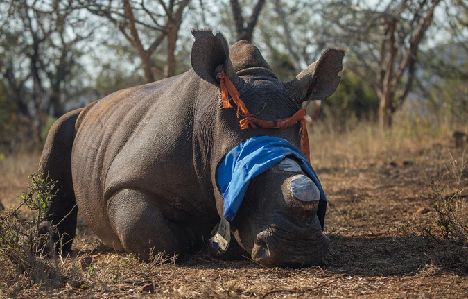 White rhino under sedation after de-horning