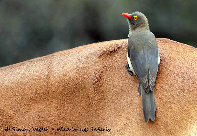 Red-billed oxpecker, bird, Kruger National Park, South Africa