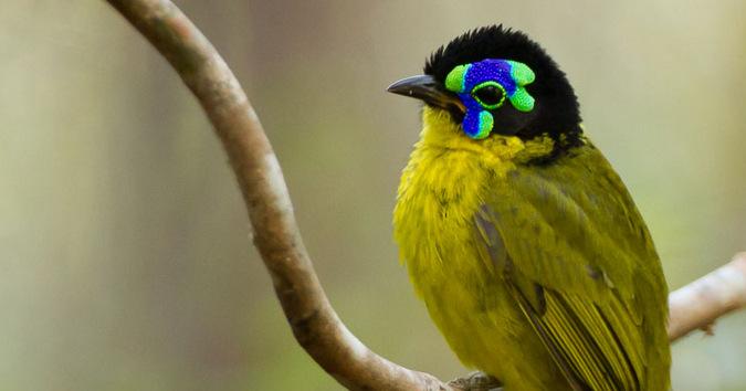Schlegel's asity, bird